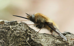 Large Bee Fly