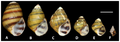 Growth series of Leptoxis compacta - journal.pone.0042499.g002.png