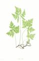 Gymnocarpium dryopteris Moore5.png