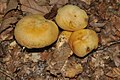 Gymnopilus validipes (Peck) Hesler 299028.jpg