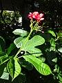 HK SYP Dr Sun Yat Sen Memorial Park red flowers green leaves June 2016 DSC (2).jpg