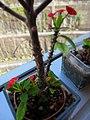 HK TKL 調景嶺 Tiu Keng Leung view 翠嶺路 Chui Ling Road 鐵海棠 green plant n red flowers 虎刺梅 Euphorbia milii May 2018 IX2 05.jpg