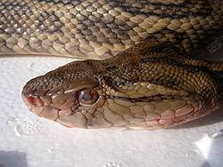 Habu-T flavoviridis 20061231.jpg