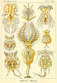 Haeckel Rotatoria.jpg