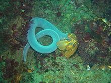 六鳃粘盲鳗