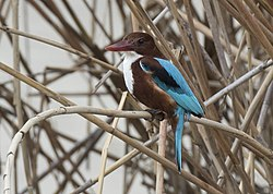 Halcyon smyrnensis - White-throated kingfisher 02.jpg