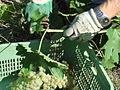 Harvest Trebbiano grapes.jpg