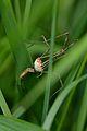 Harvestman (Opiliones) - Guelph, Ontario 01.jpg
