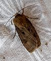 Heart and Dart. Agrotis exclamationis - Flickr - gailhampshire (1).jpg