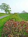 Hedgerow near West House Farm, Foxton - geograph.org.uk - 167555.jpg