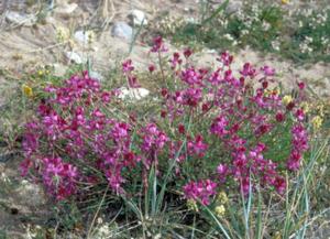Hedysarum alpinum - Image: Hedysarum alpinum