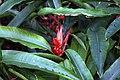 Heliconia angusta 10zz.jpg