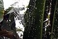 Heliconia rauliniana 0zz.jpg