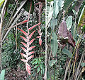 Heliconia vellerigera (14528898376).jpg