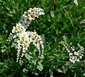Heliotropium curassavicum 2.jpg