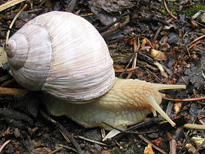 Shell and live animal of edible land pulmonate...