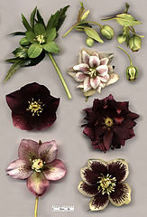 Winter plants, Hellebore great for Portland