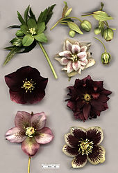 Hellebore Species And Hybrids Helleborus Viridis Top Left H Foetidus Right With Cross Section Flowers Of Various Specimens Hybridus