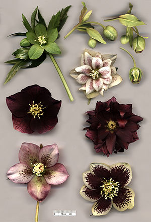 Hellebore - Hellebore species and hybrids: Helleborus viridis (top left); H. foetidus (top right) with cross-section; flowers of various specimens of H. × hybridus, including doubles