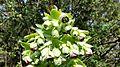 Helleborus foetidus (24314605194).jpg