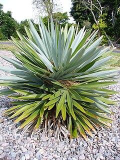 <i>Hemithrinax ekmaniana</i> species of plant
