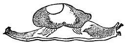 Hemphillia glandulosa