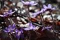 Hepatica nobilis 0546.jpg
