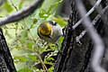 Hermit Warbler (immature male) Huachuca Canyon Sierra Vista AZ 2018-08-25 10-30-25 (48038365802).jpg