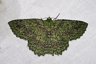 <i>Herochroma baibarana</i> Species of moth