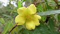 Hibbertia dentata flower (15932753867).jpg