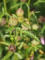 Hibiscus trionum Ketmia południowa 2014-10-12 01.jpg