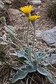 Hieracium tomentosum-4718 - Flickr - Ragnhild & Neil Crawford.jpg