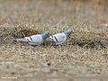 Hill Pigeon (Columba rupestris) (47887773171).jpg