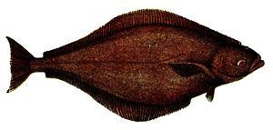 Hippoglossus - Atlantic halibut (H. hippoglossus)
