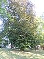 Hlučín, památný strom, buk lesní, park na ul. Čs. armády.JPG