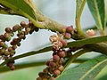 Homonoia riparia (3127585757).jpg