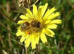 Honey bee on bristly ox tongue at Minet Country Park - geograph.org.uk - 93716.jpg