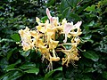 Honeysuckle (Lonicera periclymenum) - geograph.org.uk - 906895.jpg
