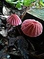 Hongo rosa.jpg