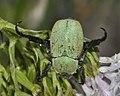 Hoplia-argentea-06-fws.jpg