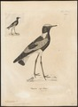 Hoplopterus speciosus - 1700-1880 - Print - Iconographia Zoologica - Special Collections University of Amsterdam - UBA01 IZ17200159.tif