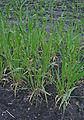 Hordeum vulgare six-row winter barley, zesrijige wintergerst (6).jpg