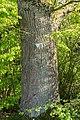 Horn-Bad Meinberg - 2015-05-04 - ND 2.3-12 Eichen Naptetal (3).jpg