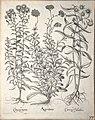 Hortus Eystettensis, 1640 (BHL 45339 229) - Classis Aestiva 77.jpg