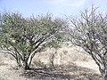 Huizaches - panoramio.jpg
