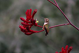 Hummingbird and his flower11.jpg