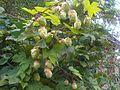 Humulus lupulus 3 - wetland 2011.08.16.jpg