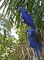 Hyacinth Macaws (Anodorhynchus hyacinthinus) (28603446120).jpg
