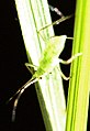 Hyalopterus.pruni (cropped).jpg
