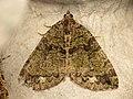 Hydriomena furcata (14495755747).jpg